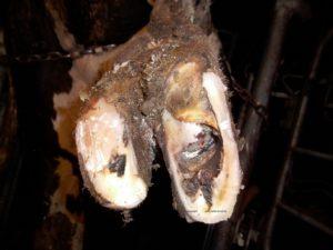 Dermatite de Mortellaro